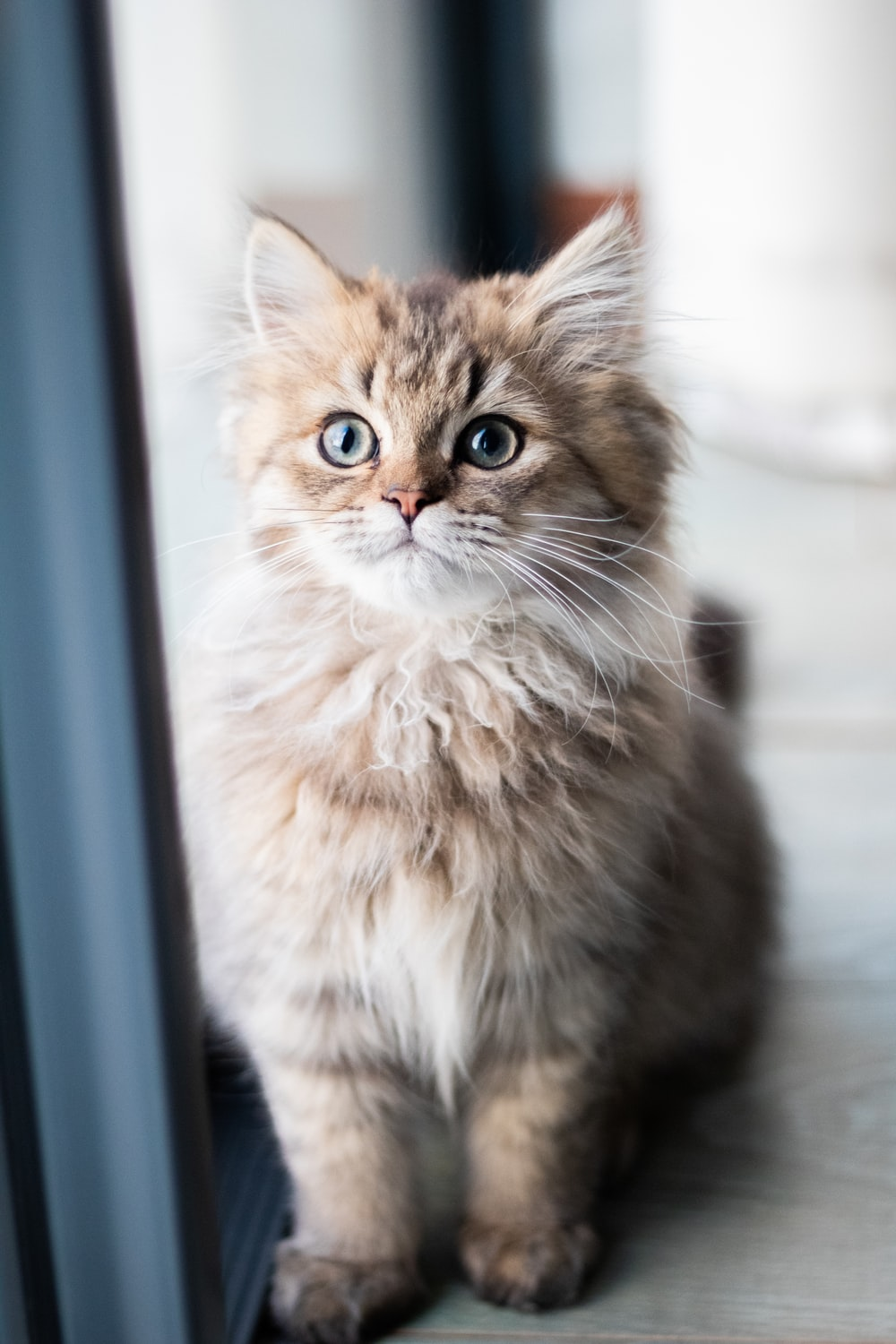 grey and brown tabby cat