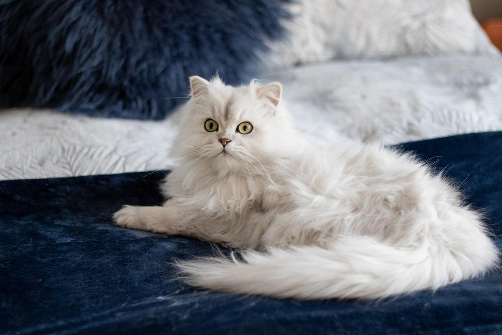 short-fur white cat on blue linen