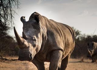 adult rhinosaurus