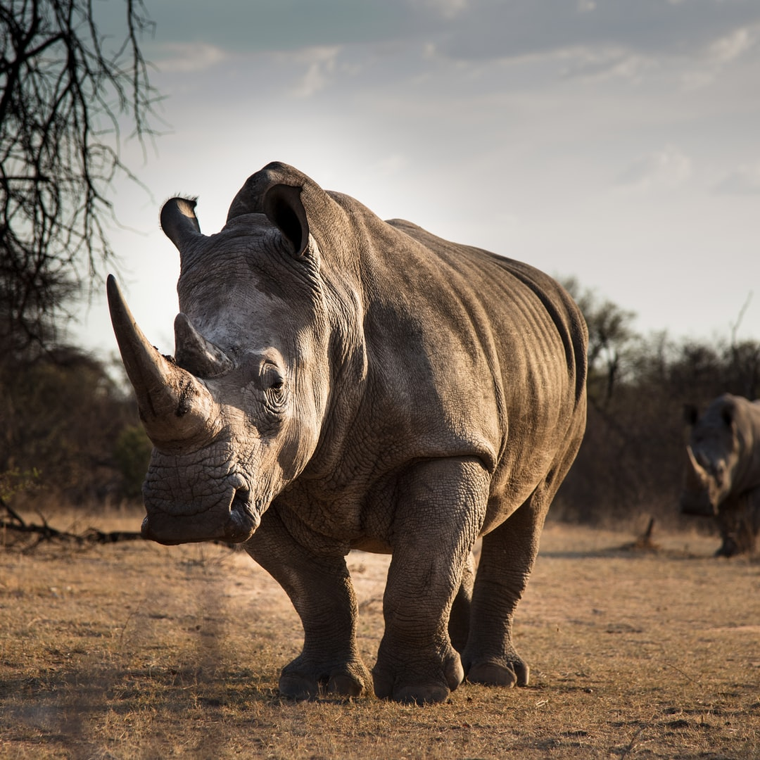 White Rhinos in the South African veld