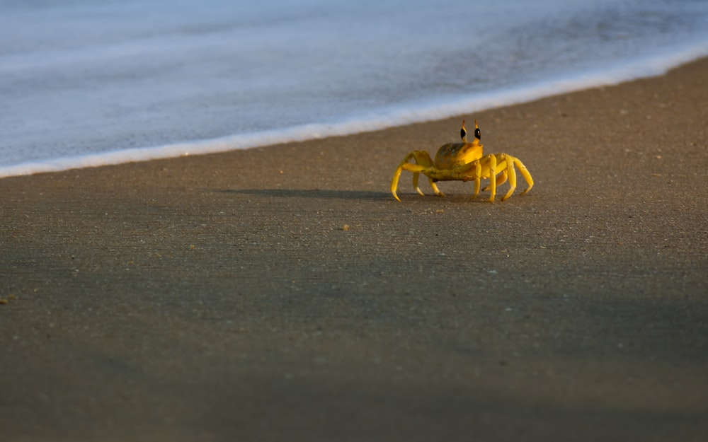 yellow crab in beach