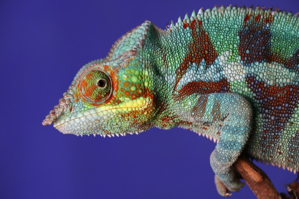 green chameleon in close-up