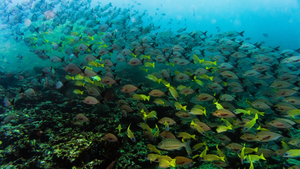 school of gray fish