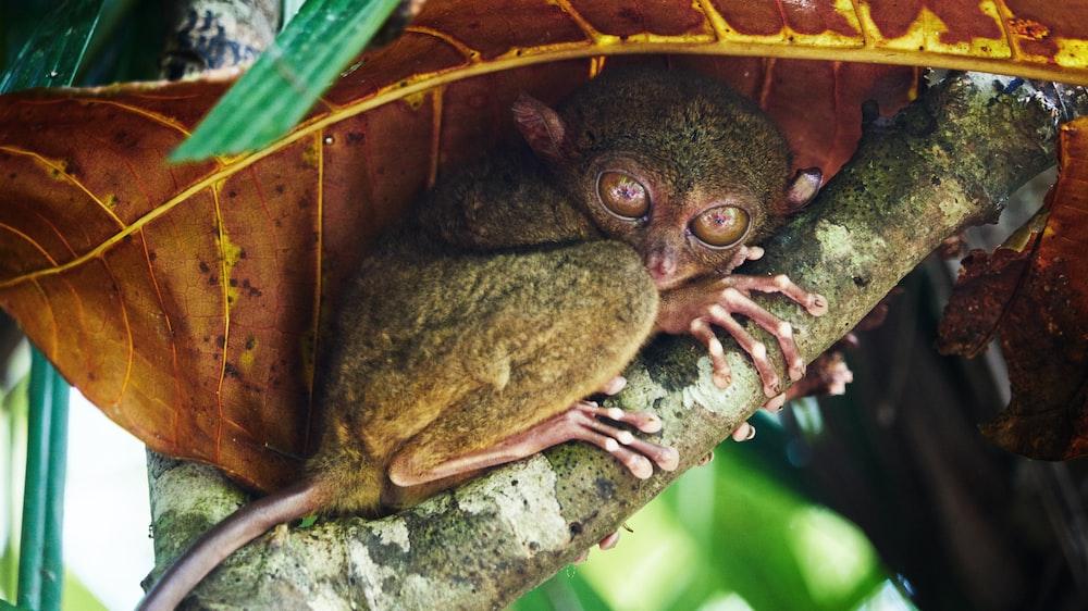 tarsier on tree