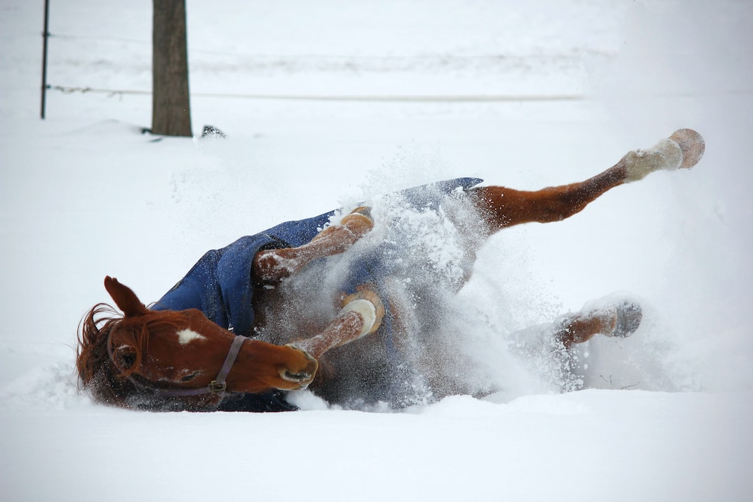 A brown thoroughbred horse rolls in the snow during winter.