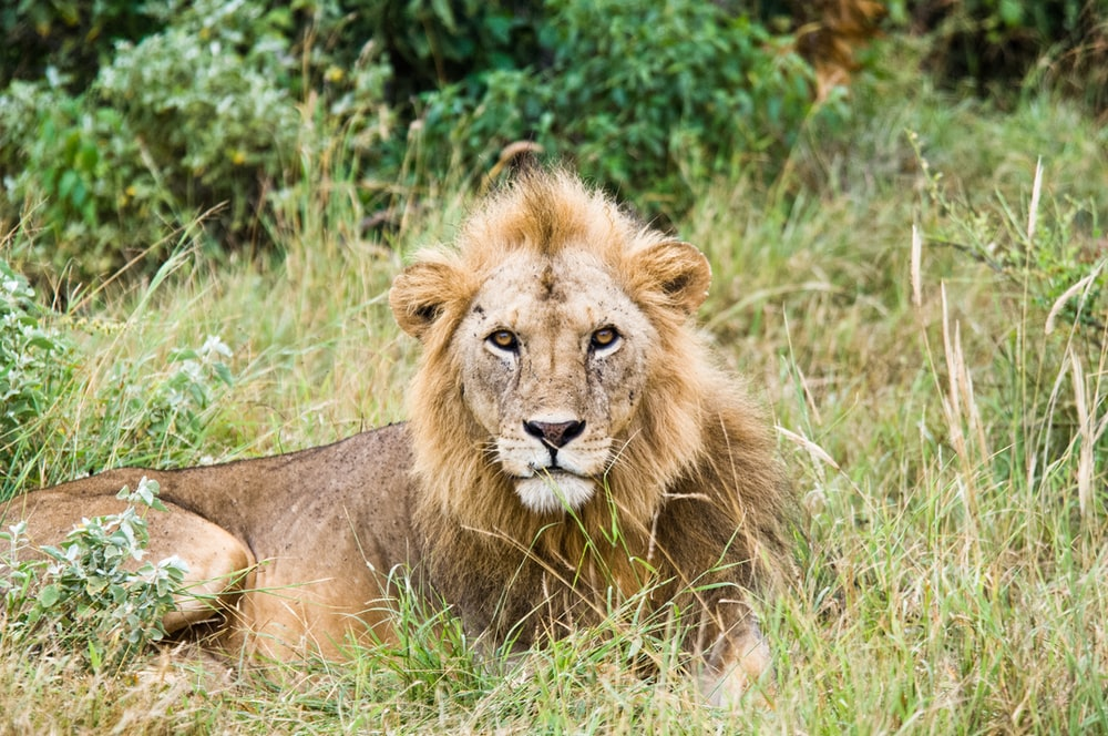 lion lying on grass land