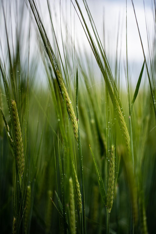 close view of Triticale grasses