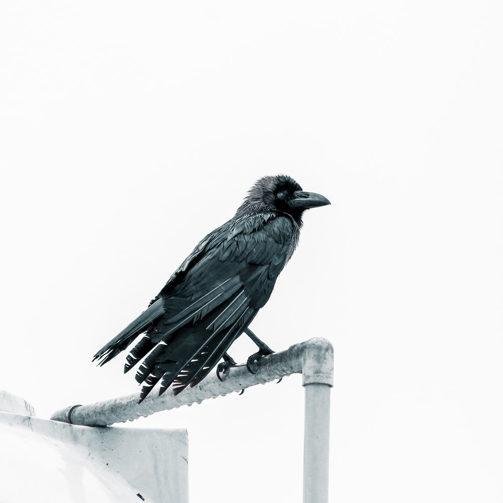 black crow close-up photography