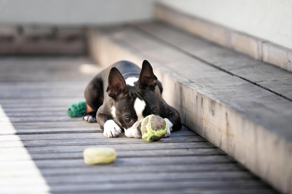 French bulldog lying on wooden board