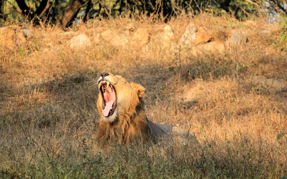 brown lion on focus photography