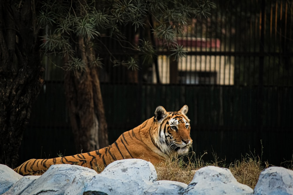 Bengal tiger lying down on a rock