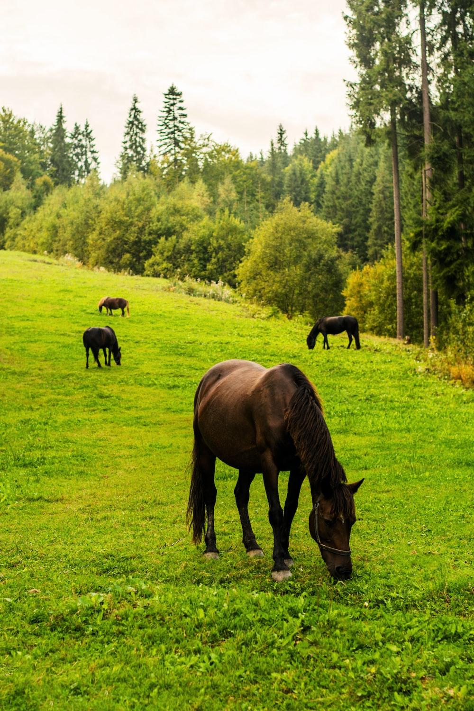 several black horses eating grass