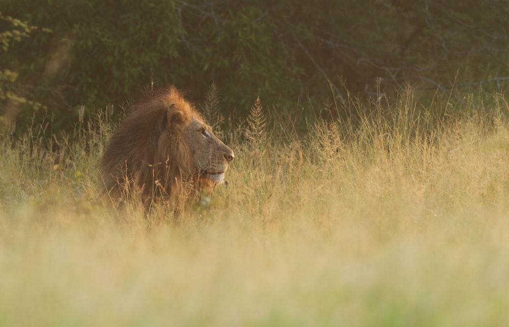 brown lion sitting on grass field