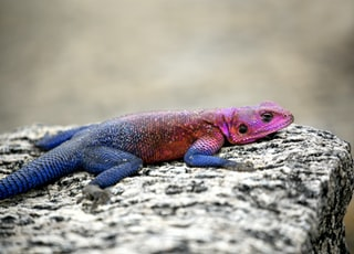 blue and pink lizard