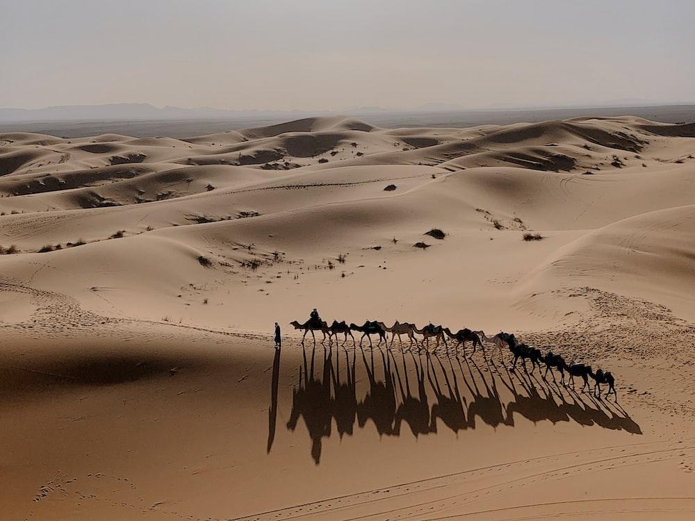 camels on sand during daytime