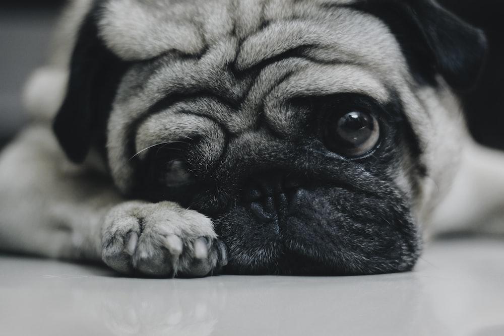 grayscale photo of pug