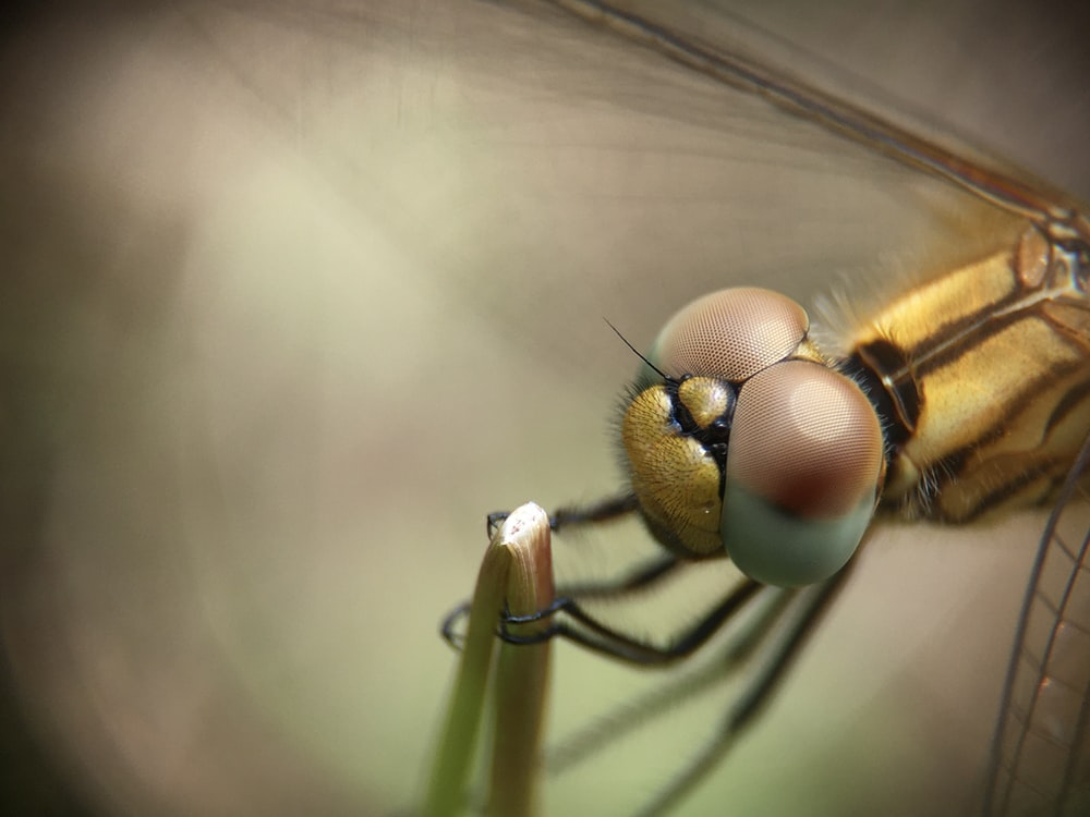 macro photography of brown dragonfly