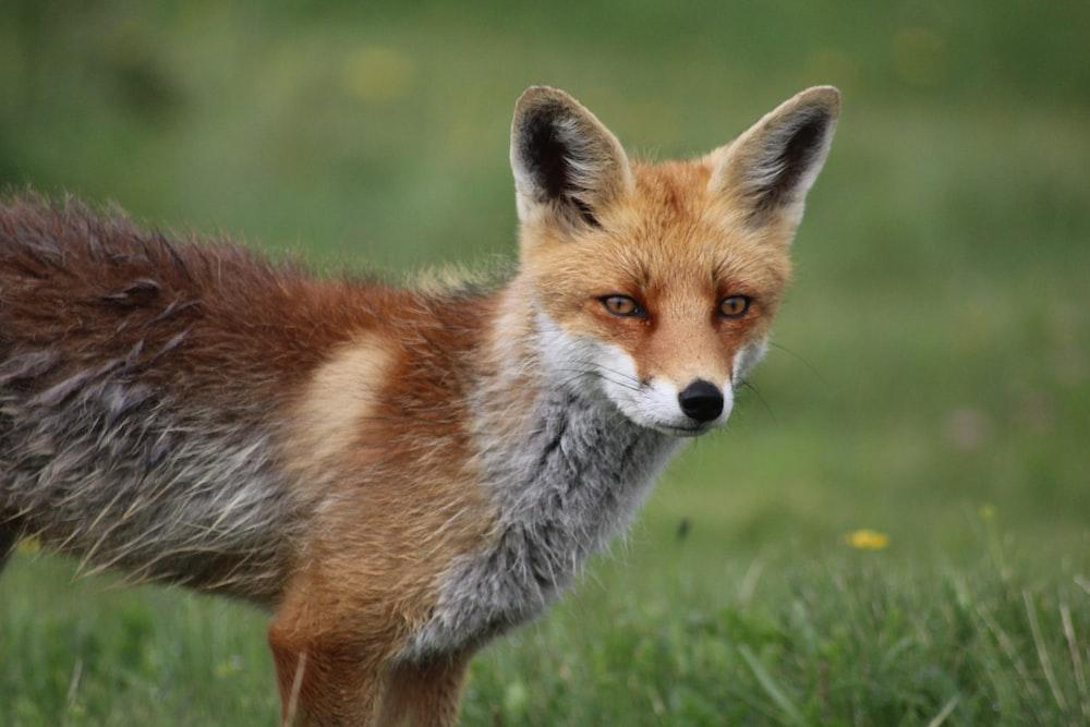 red fox standing on green grass