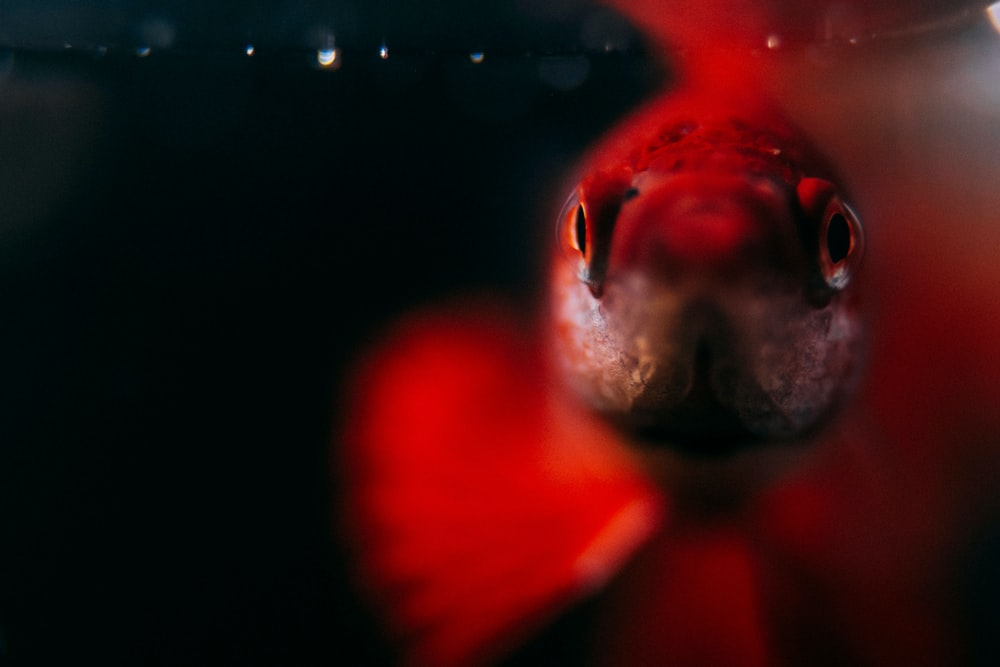 selective focus photography of red fish