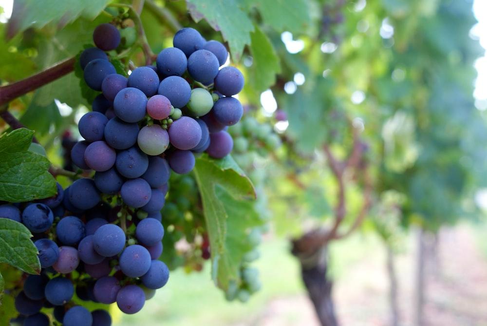 purple grapes fruit