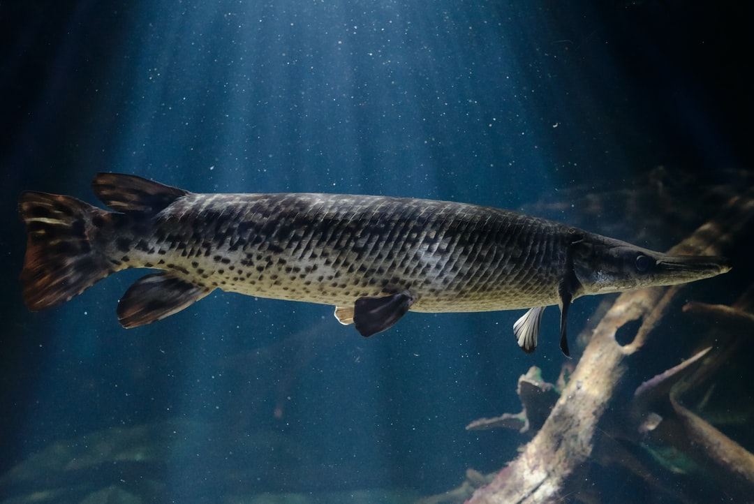 A longnose gar (Lepisosteus osseus) swims under a spotlight.