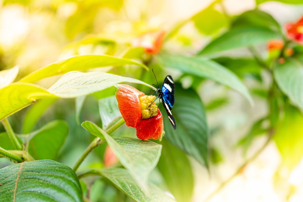 blue and black butterfly on red flower