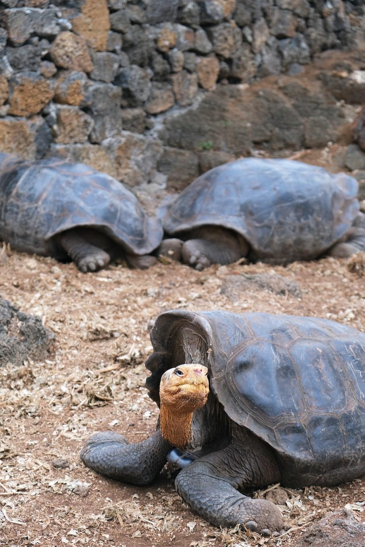brown turtle on brown soil