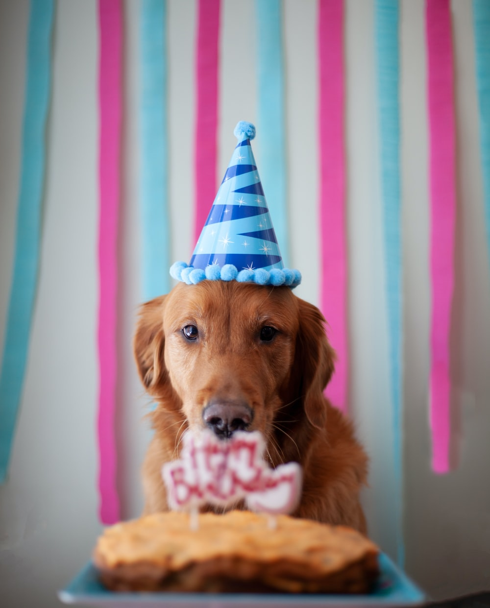 brown short coated dog wearing blue and white striped hat