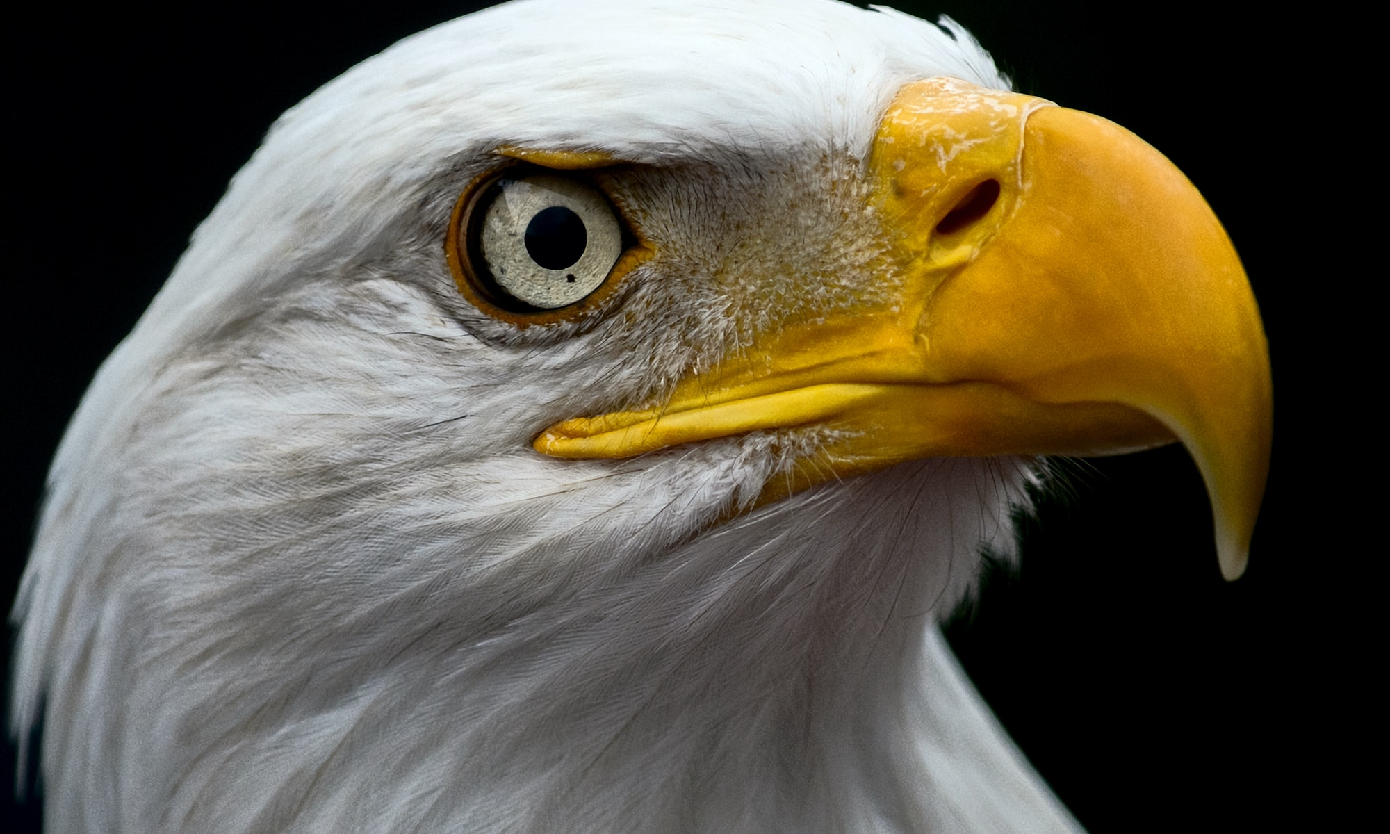 white and brown eagle head