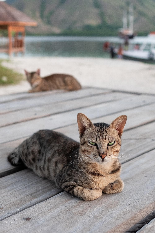 brown tabby cat on wooden floor
