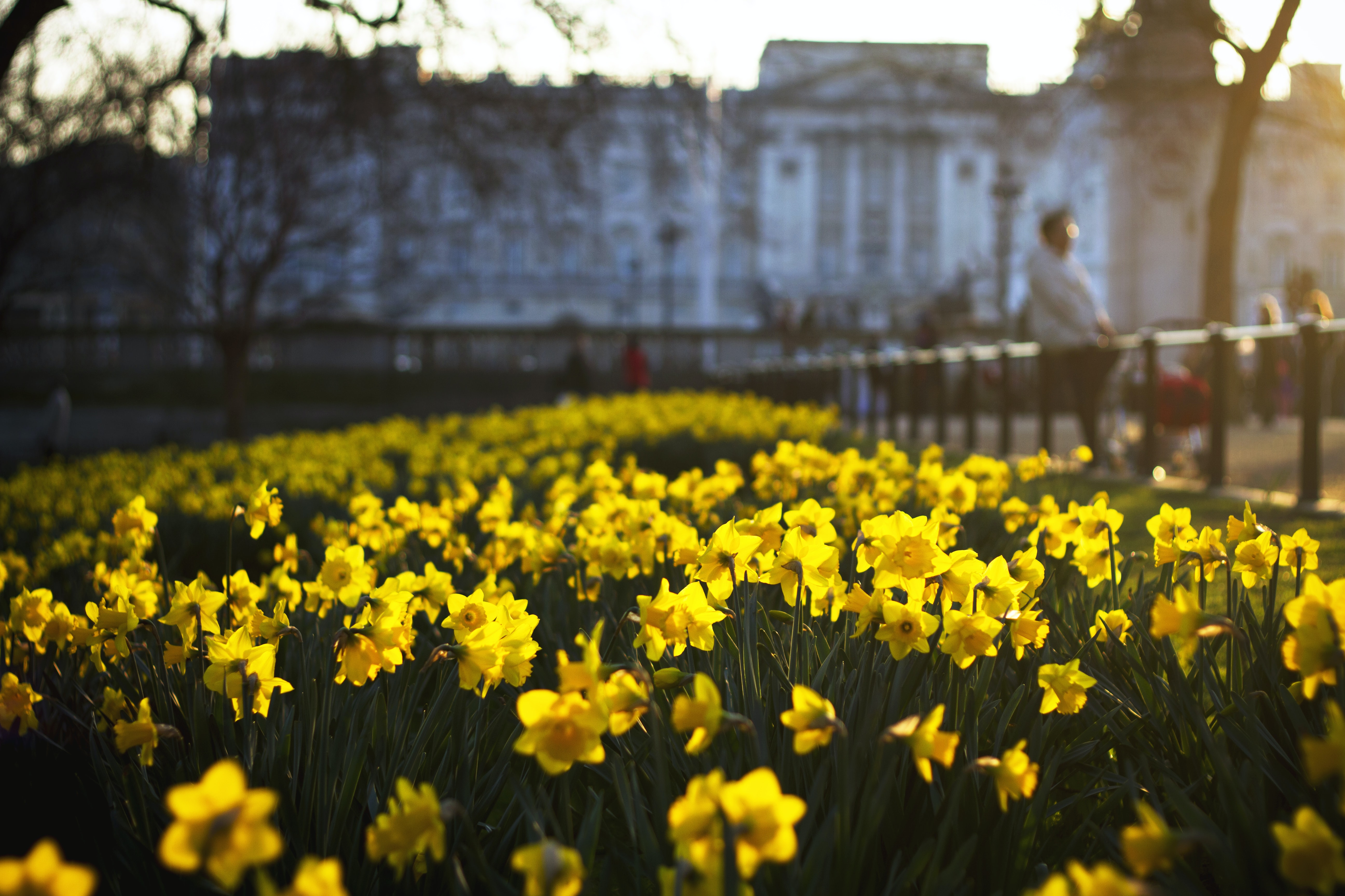 focus photography of wild daffodil field