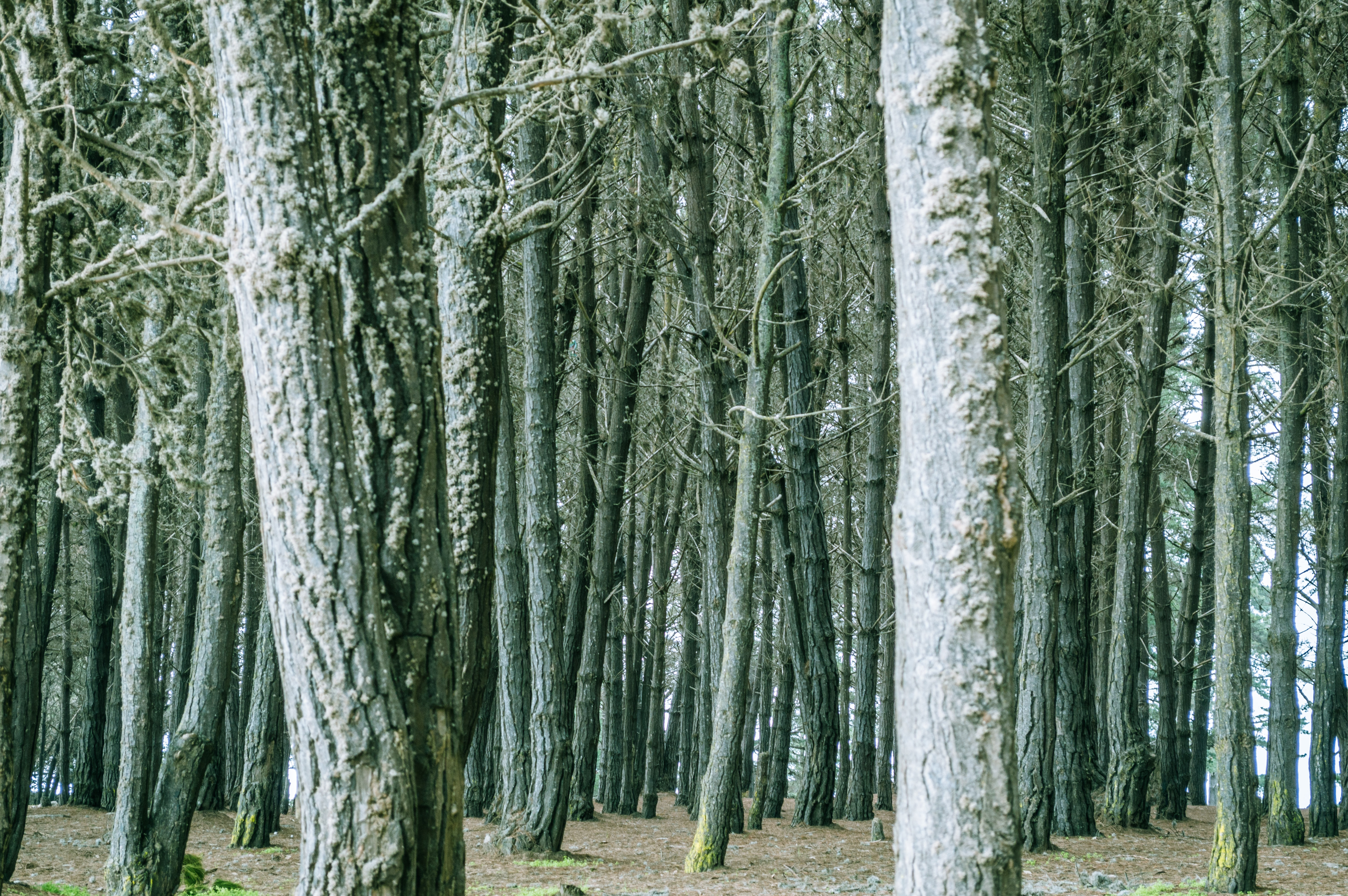 Grayish tree trunks in the middle of a forest