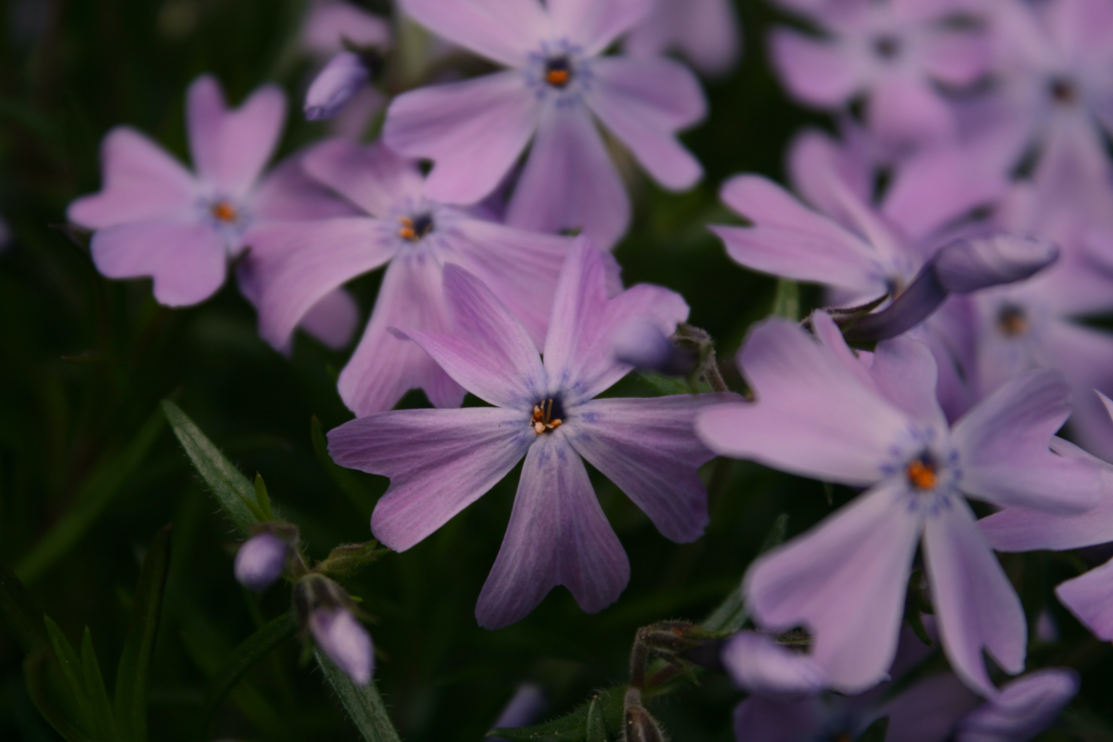 Close-up of light purple flowers with double petals