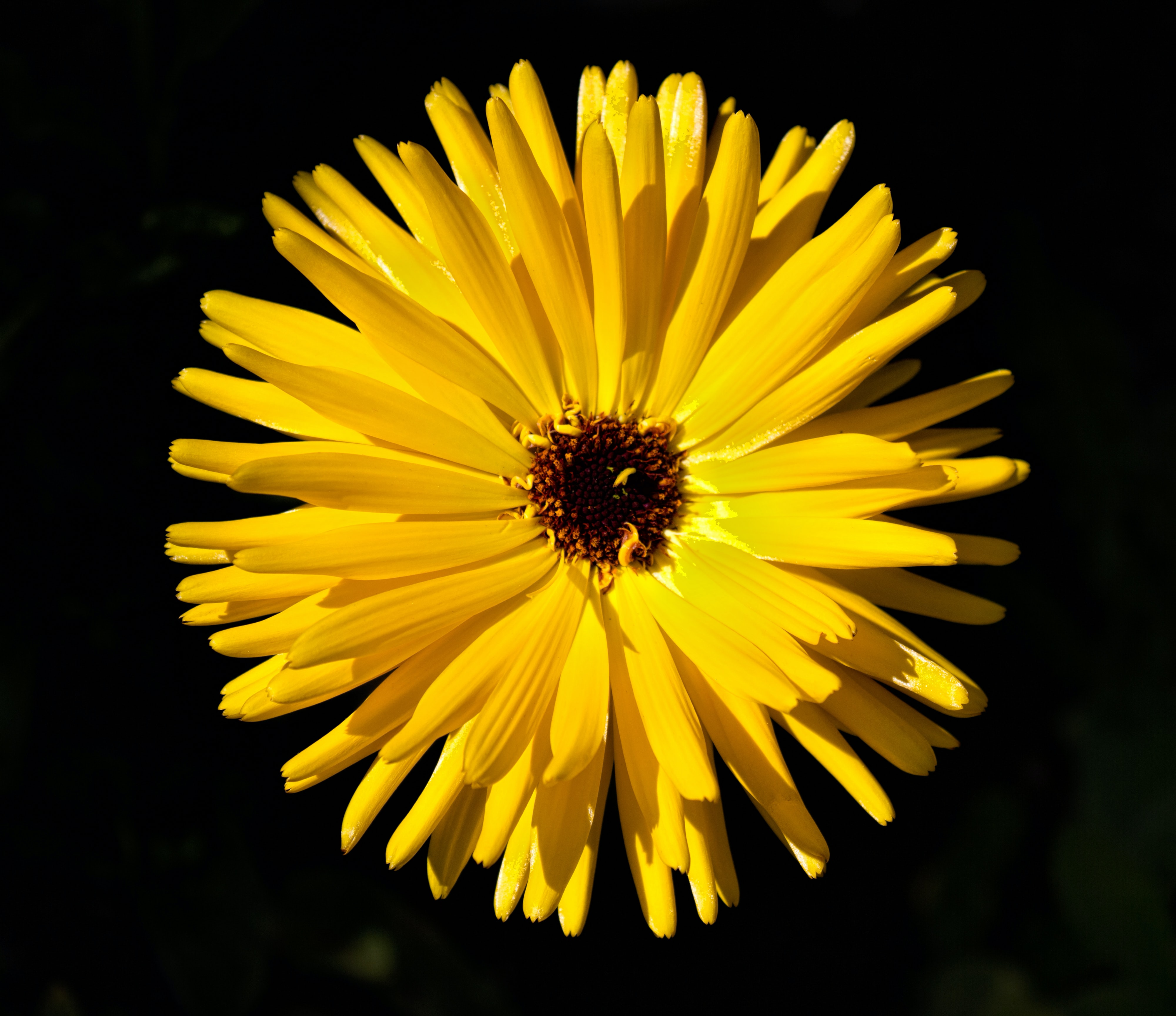 Close-up of a yellow daisy flower against a black background