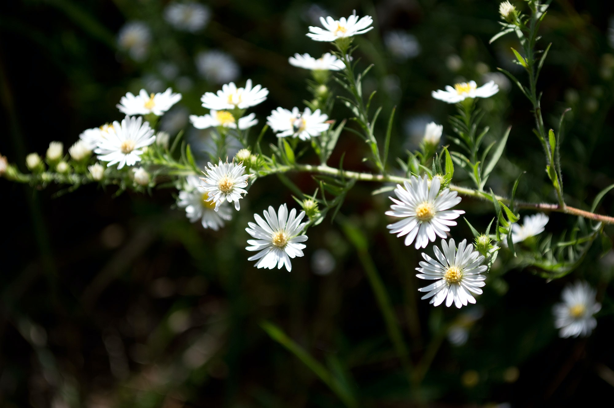 White daisy-like flowers on a long branch