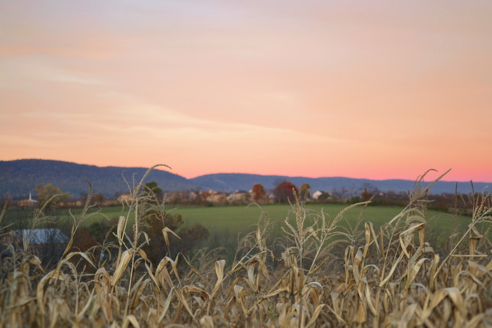 brown plant near green grass field at golden hour