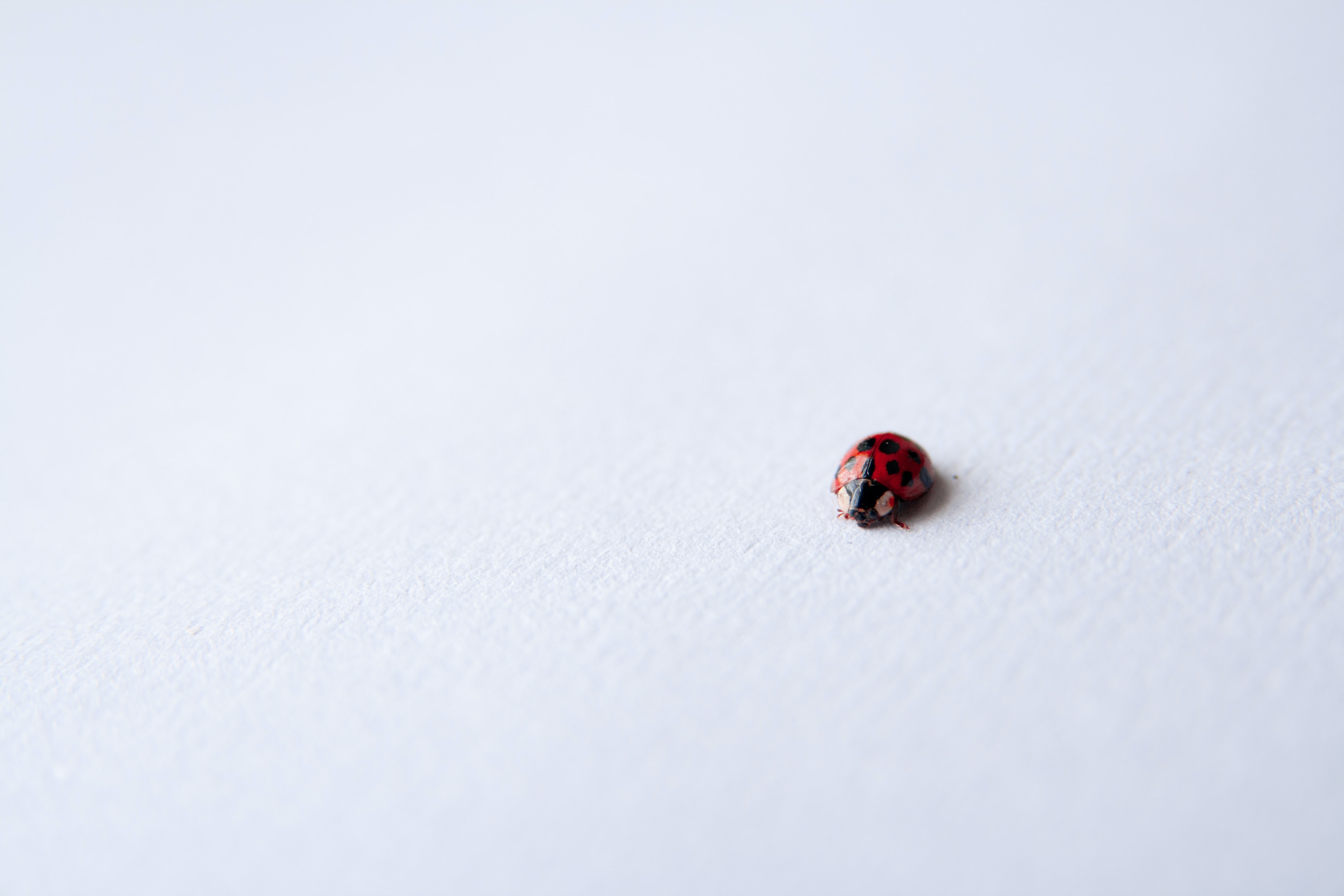 A macro shot of a ladybug on a smooth white surface