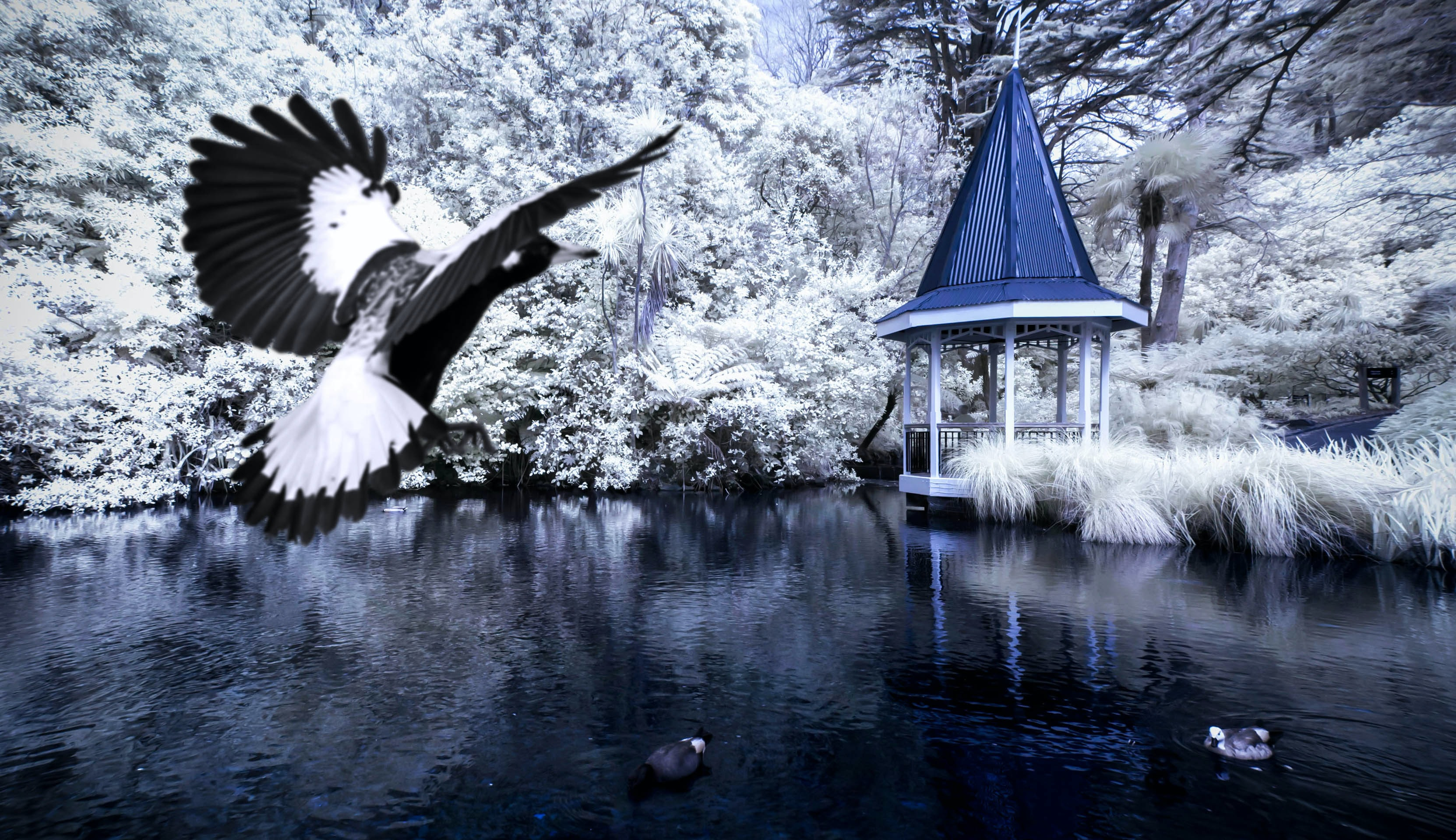 An albatross bird preparing to land on a lake which is surrounded by snow-covered trees; a white gazebo with a blue roof sits on the shore of the lake