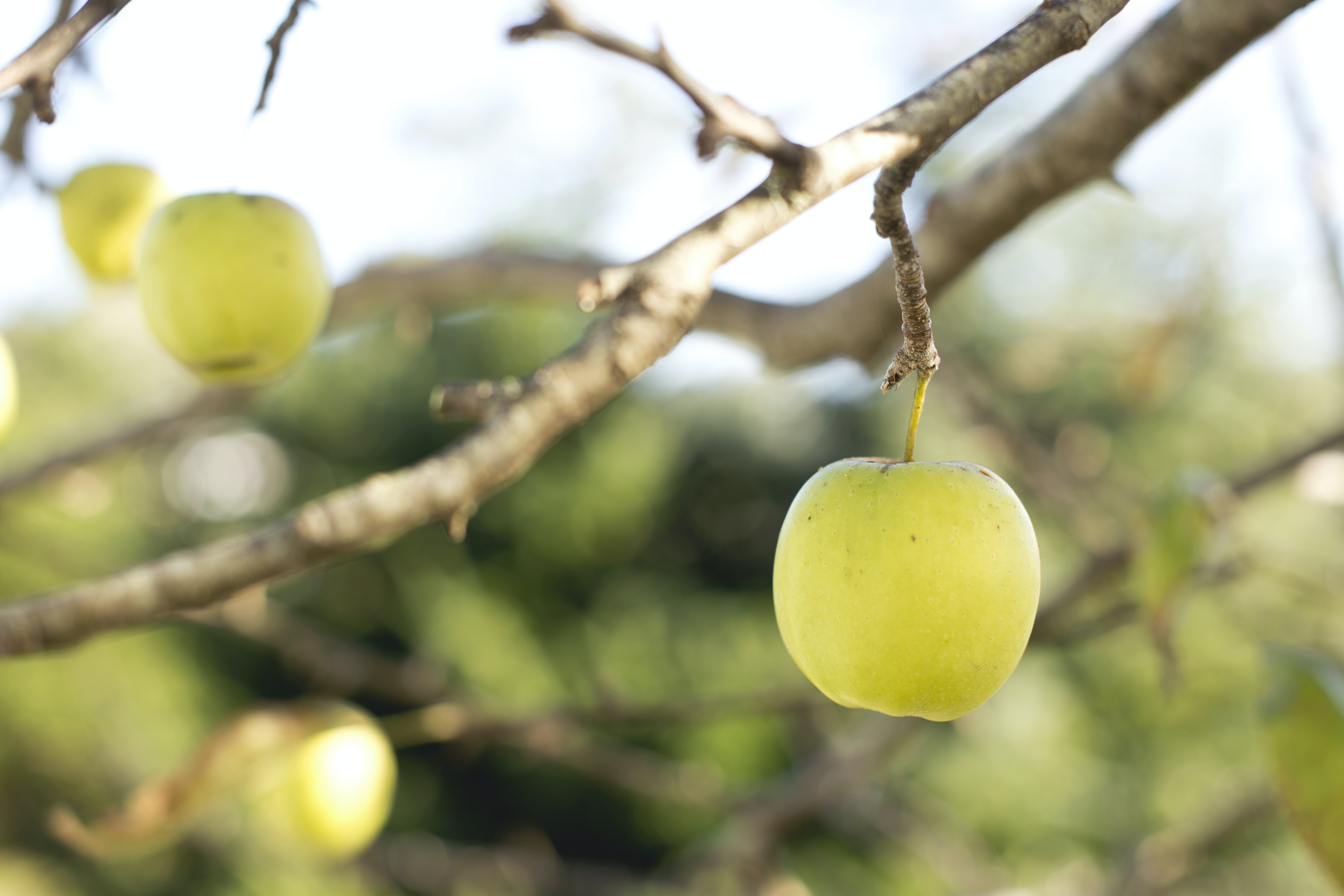 Fresh green apples growing on a tree in an orchard