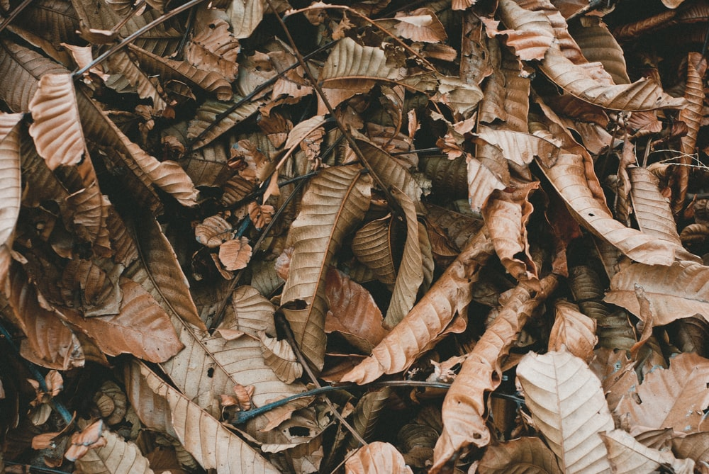 closeup photo of withered leaves