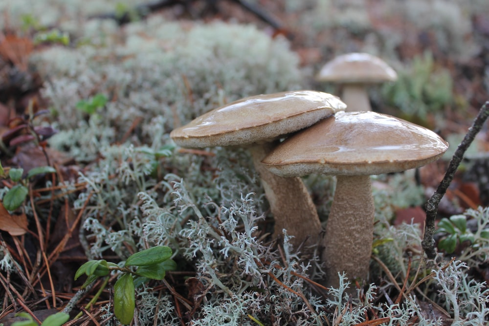 shallow focus photography of two brown mushrooms
