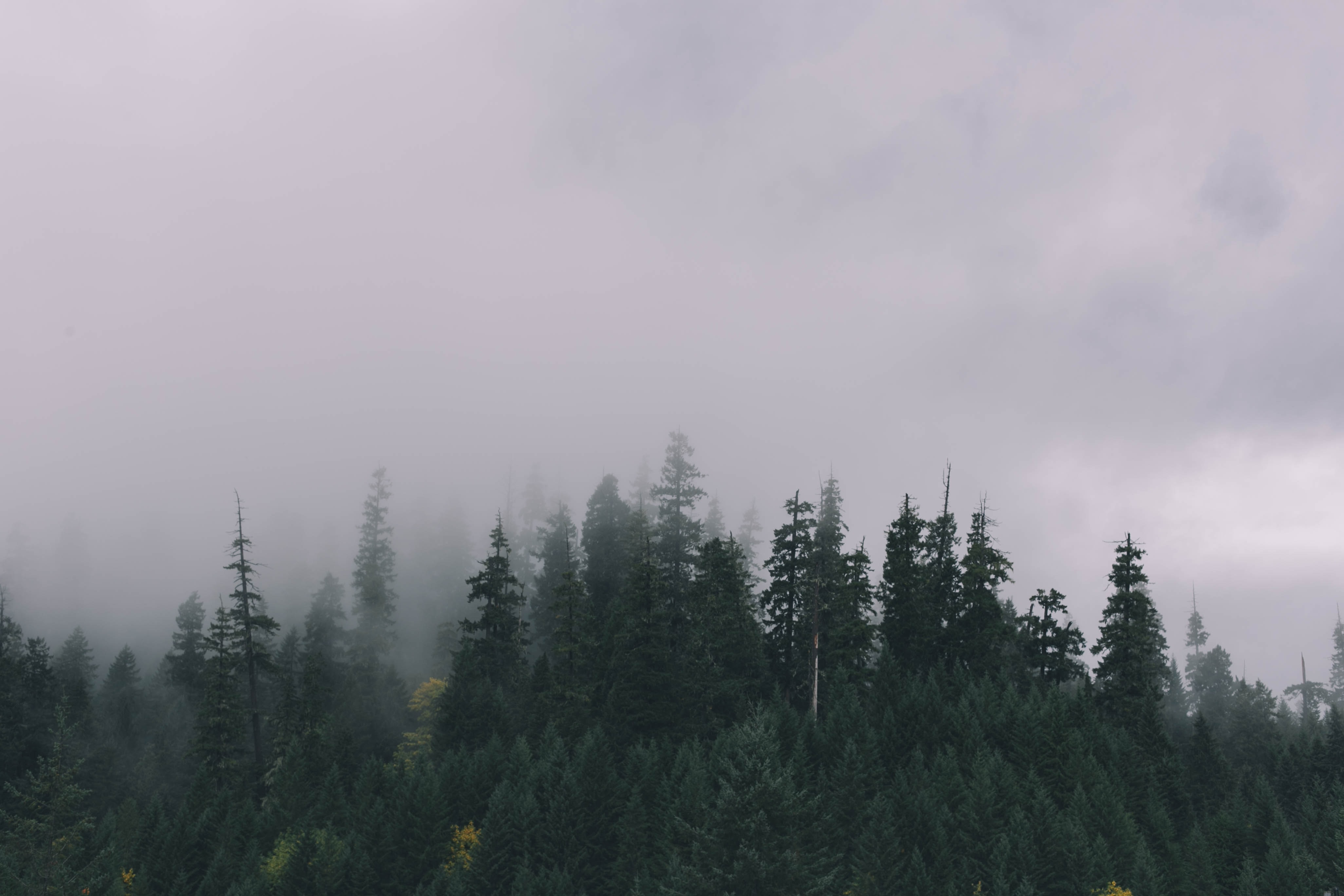 A pine forest wreathed in a mist on a cloudy day