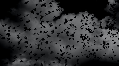 A flock of crows