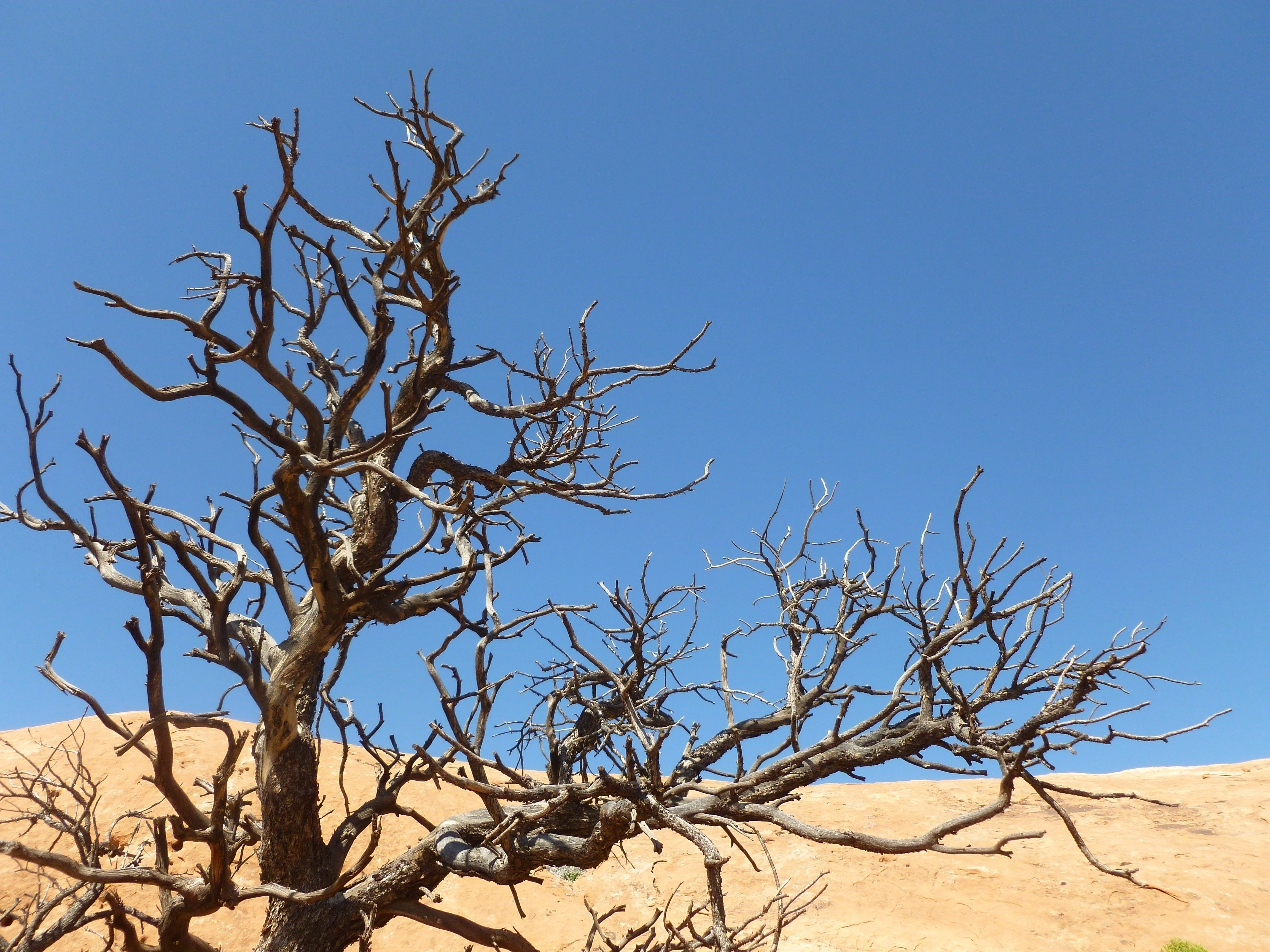 Bare and gnarled tree branches against a sand dune and a blue sky