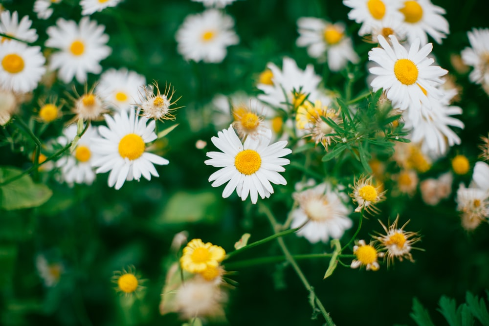 A patch of white chamomile flowers