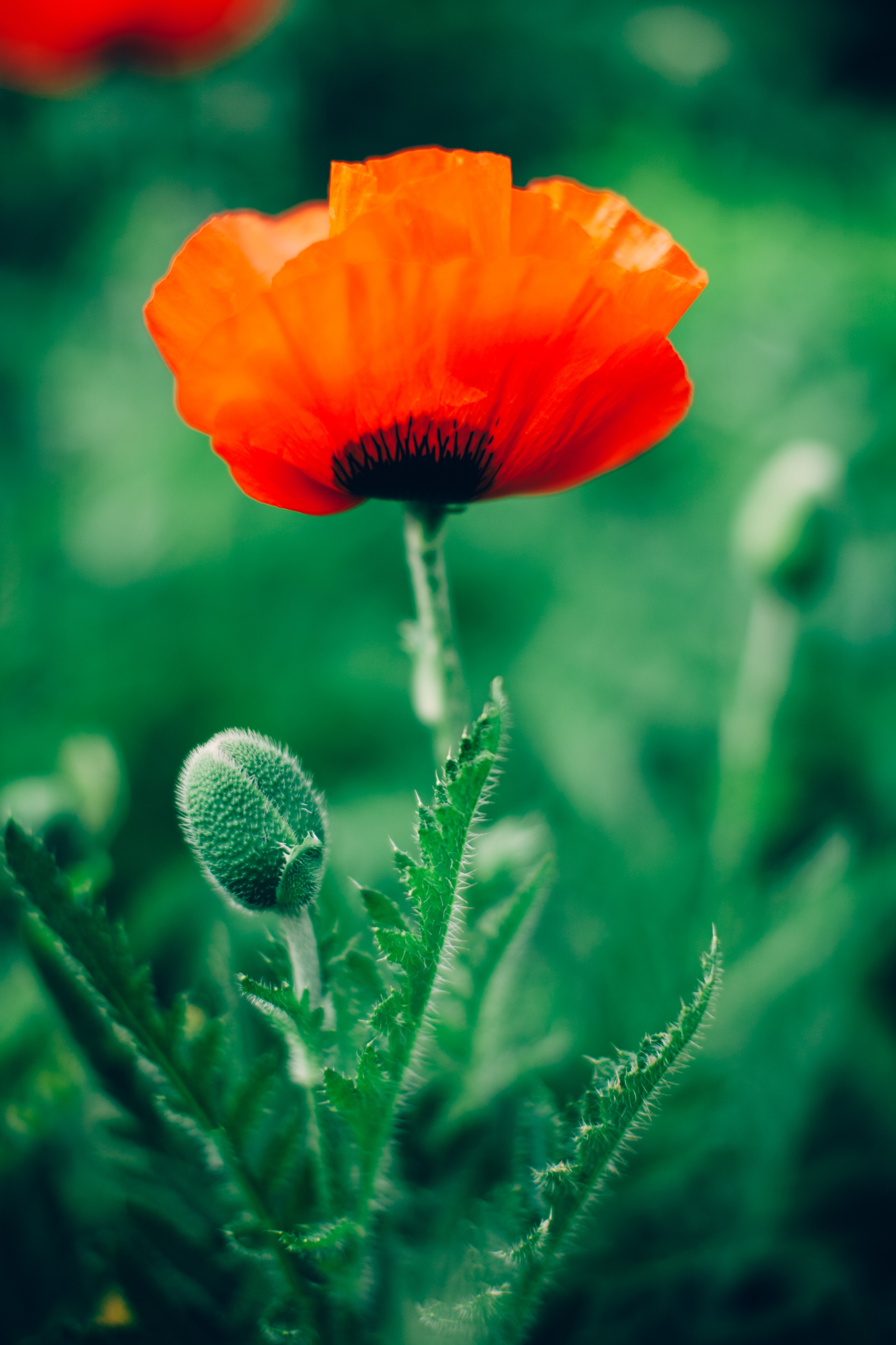Close-up of a blooming red poppy and poppy seed heads
