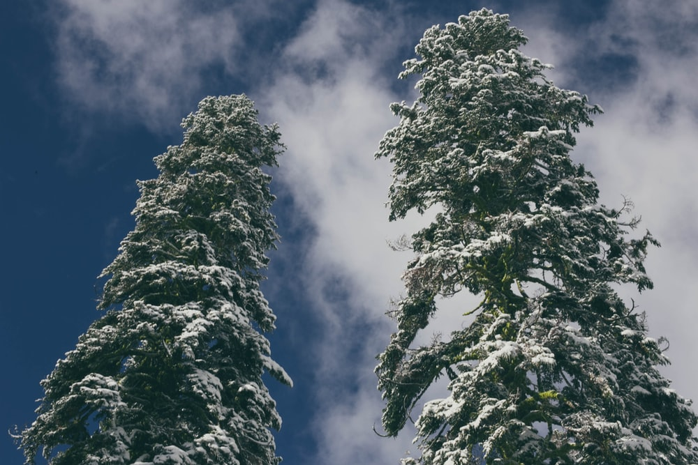 tow trees covered by snows