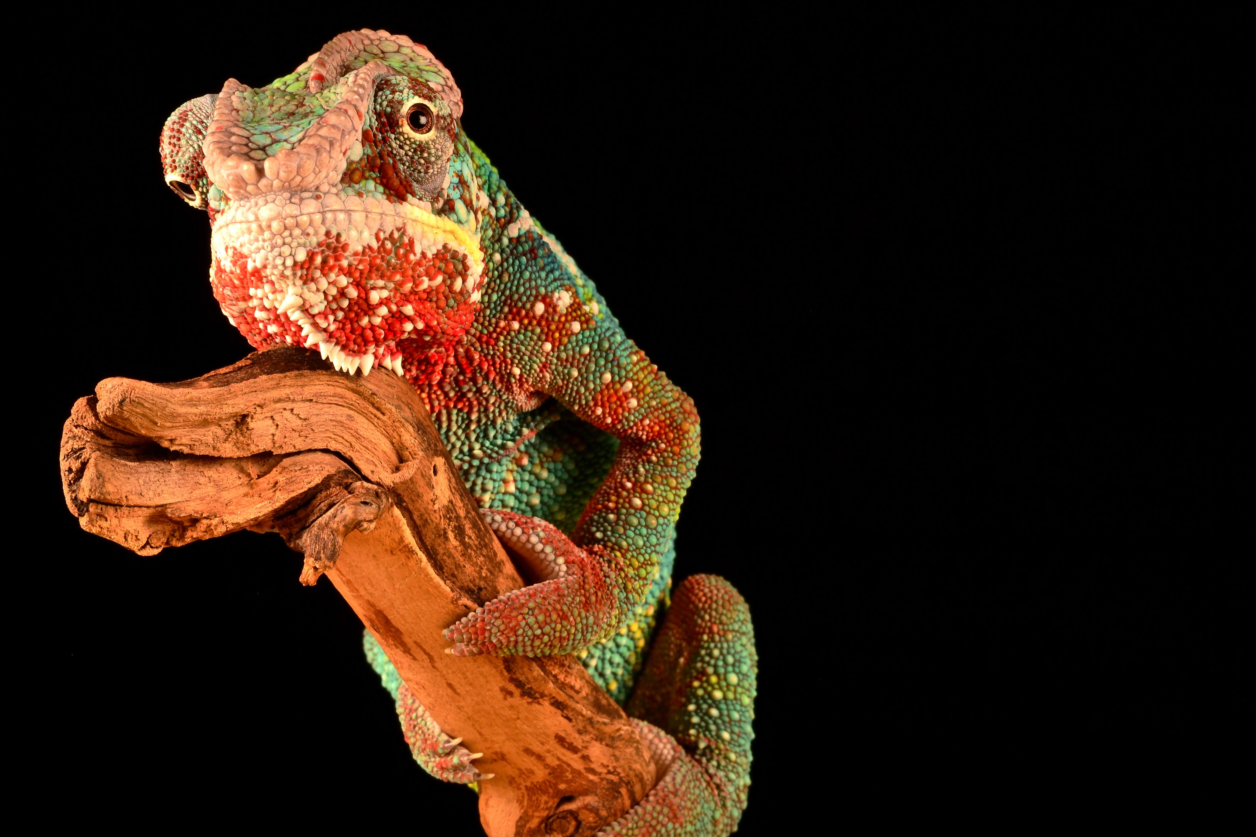 A magnificently colorful chameleon sitting on a gnarly branch against a plain black background