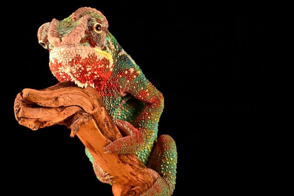 chameleon on brown driftwood