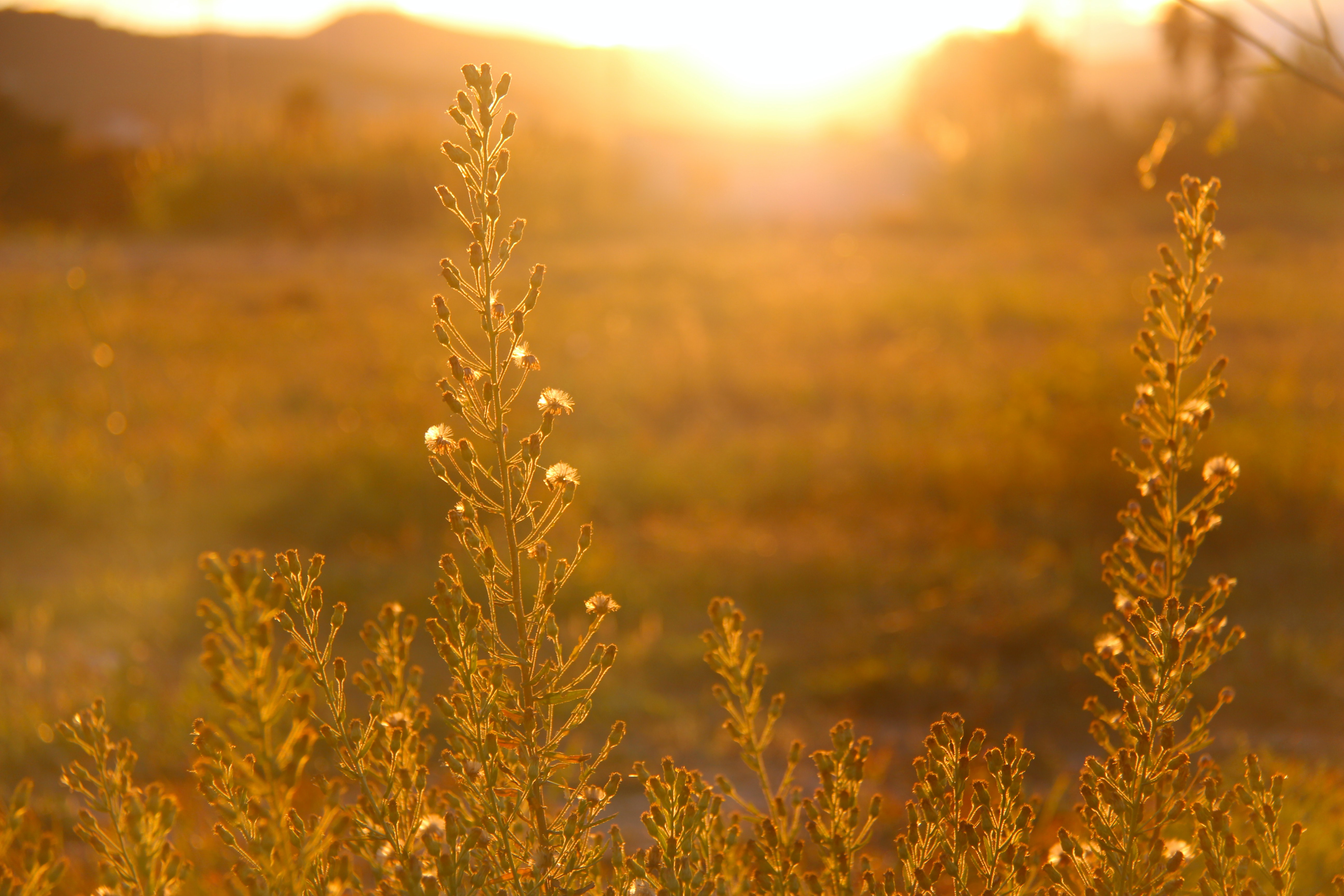 Glowing shot of the meadow turned golden in a summer day at sunrise